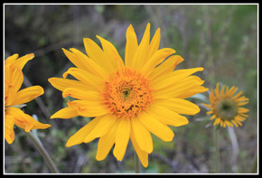 Balsamroot At Sauer Mountain