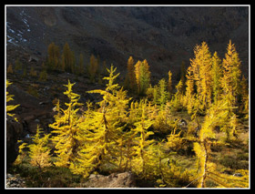 Golden Larch Trees In Headlight Basin